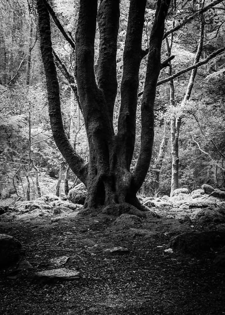 Old Tree - County Kerry